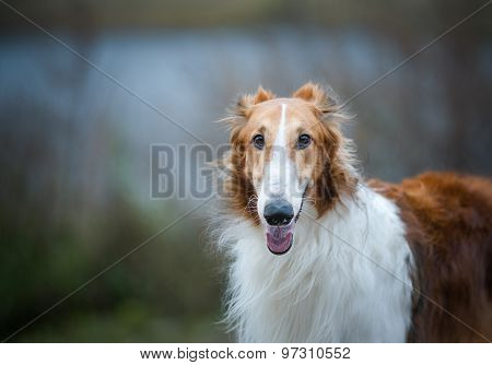 Russian Borzoi Dog Close Up