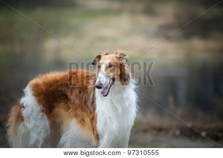 Beautiful Russian Borzoi Dog