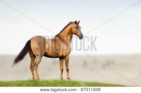 Golden Chestnut Stallion Standing In A Field On Freedom
