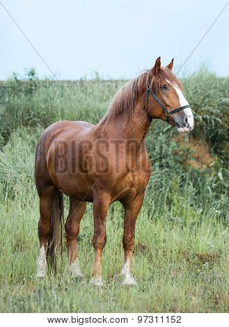 Draft Chestnut Stallion