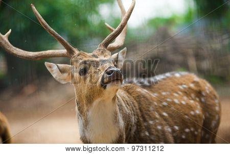 Indian Deer Close Up Portrait