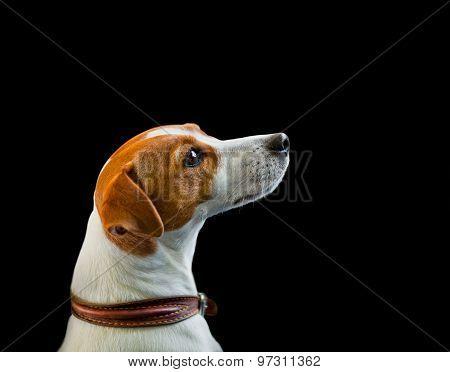 Jack Russel Terrier Portrait On A Black