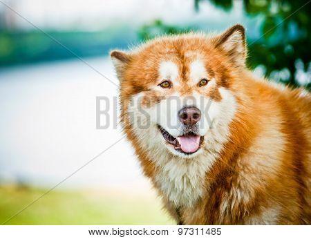 Alaskan Malamute portrait