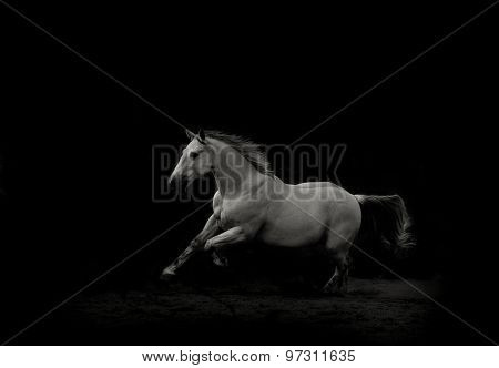 White Stallion Running Gallop In The Dark