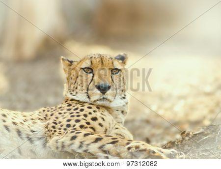 Cheetah Resting Outdoors