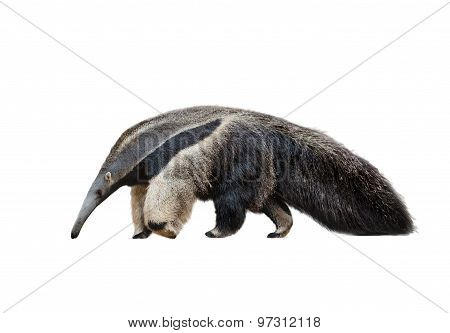 Male Of Ant-eater Isolated Over A White