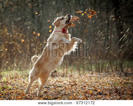 Golden Retriever Plays With Autumn Leaves