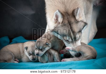 Female Husky With Newborn Puppies