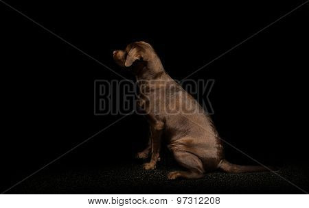 Chocolate Labrador Retriever In The Dark