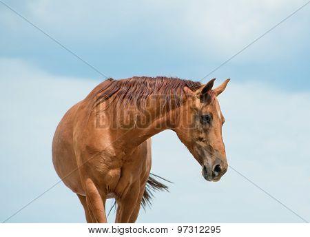 Purebred Golden Horse
