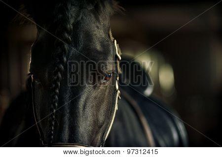Frisian Stallion