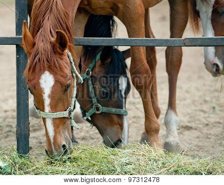 Horses Having Dinner