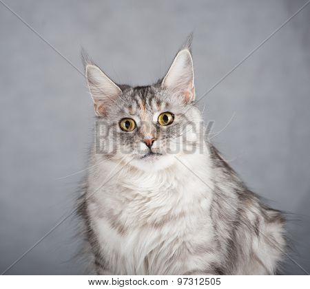 Gray Female Maine Coon Cat