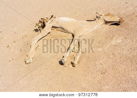 Dead Donkey In The Desert