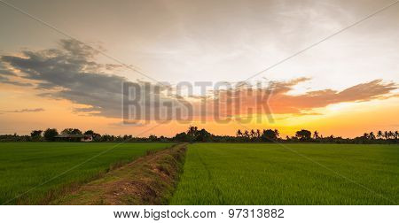 Paddy Field And Ridge In Sunset Light