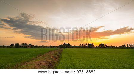 Paddy Field And Ridge In Sunset Light