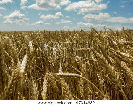 Wheat Field , Blue Sky With White Clouds