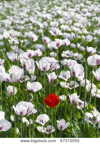 Single Red Poppy In A Field Of A Million White Poppiesrr