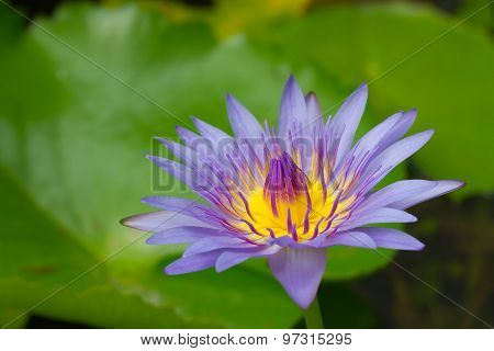 Purple Waterlily With Yellow Center In The Pond