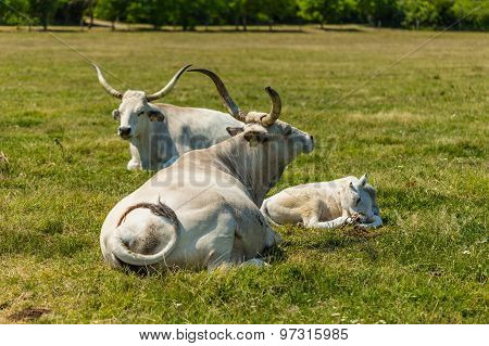 Hungarian Gray Cattles