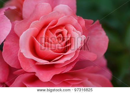 Large Flower Roses. Pink Rose. Close-up. Blurring Background.