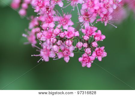 Pink Flowers On A Green Background. Close-up.