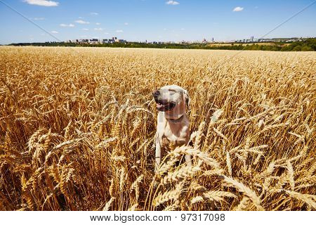 Dog In Cornfield