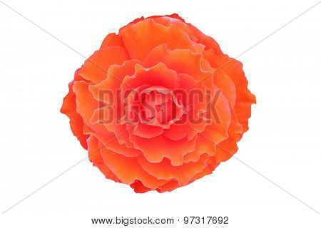 Begonia flower isolated on white background