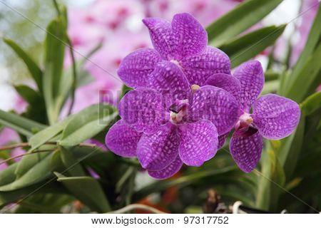 Purple orchid, Vanda coerulea