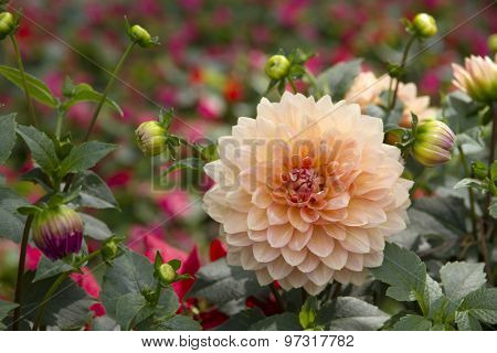 Dahlia flower blossoming