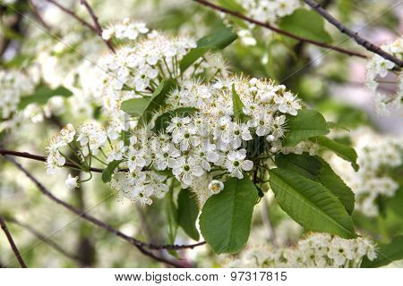 Prunus padus(Bird Cherry) blossoming