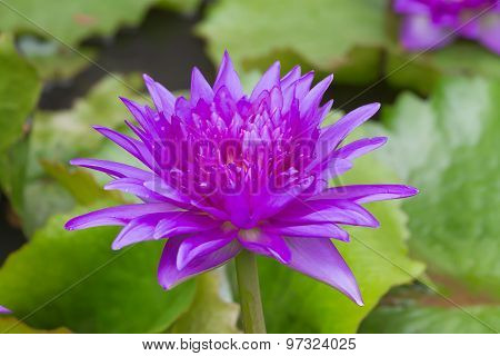 Purple Waterlily Named King Of Siam Or Chalong Kwan
