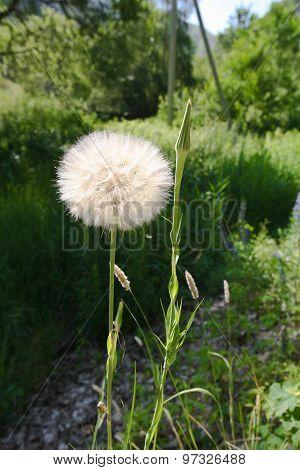 huge dandelion