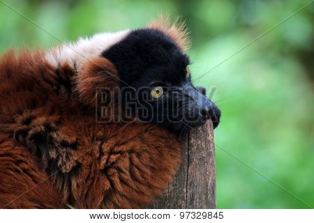 Portrait Of A Red Lemur Sitting On A Fence
