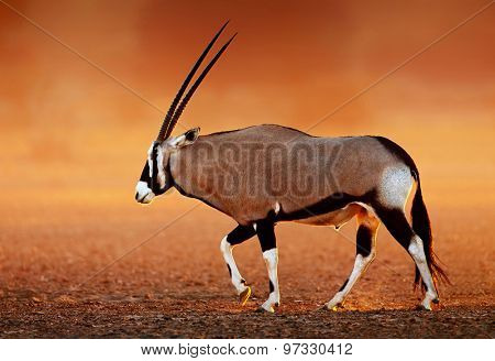 Gemsbok  ( Oryx gazella) on dusty desert plains at sunset.  Kalahari -  South Africa