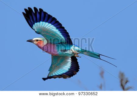 Lilac-breasted Roller (Coracias caudatus) taking flight against clear blue sky - Kruger National Park (South Africa)