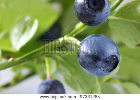 Blueberry on sprig