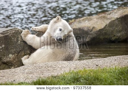 Portrait Of Polar Bear Youngster With Rocks