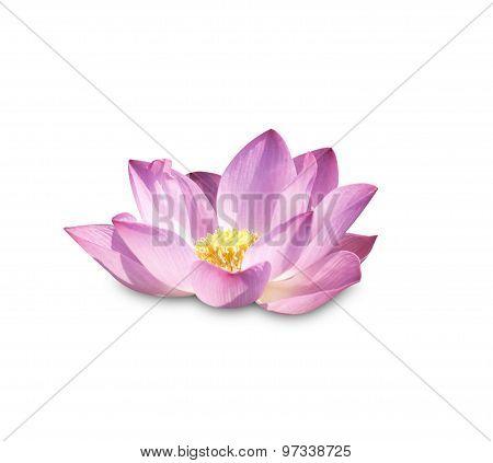Lotus Buds Lotus Flower