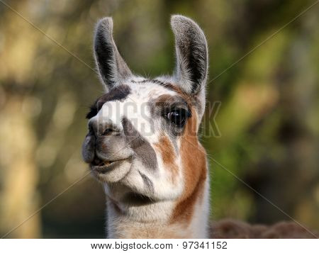 Portrait Of A Lama With A Green Background