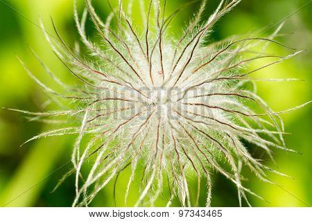 White Fluffy Flower