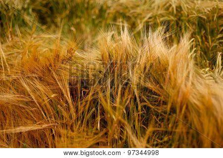 Soft Warm Wheat Barley Crop Plant Texture