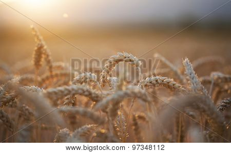 Close up of ripe wheat ears in the summer sunset
