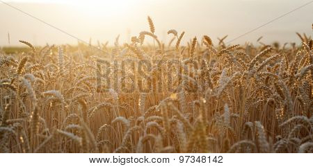 Golden wheat field in the sunset