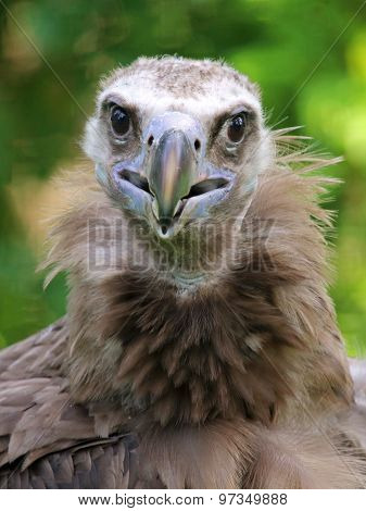 Portrait Of A Cinereous Vulture With A Green Background
