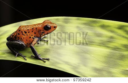 red poison dart frog Costa rica and Nicaragua. Beautiful poisonous animal from the central american tropical rain forest. Macro exotic amphibian