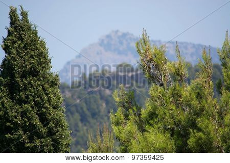 Cypress And Pine Trees Closeup