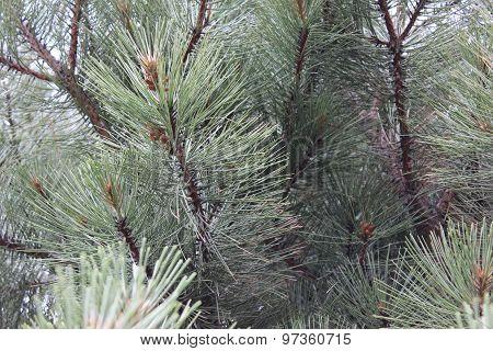 Big Pine Tree Needles Close Up