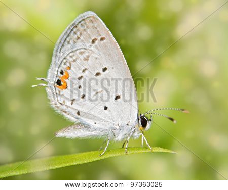 Dreamy image of a tiny Eastern Tailed Blue butterfly resting on a blade of grass