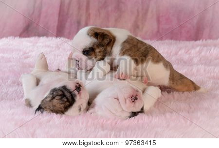 litter of puppies - bulldog females 3 weeks old